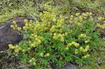 Alpine Ladys-mantle (Alchemilla alpina)